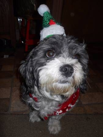 LOST DOG SMALL BLACK AND WHITE TERRIER (MT.VERNON) hide