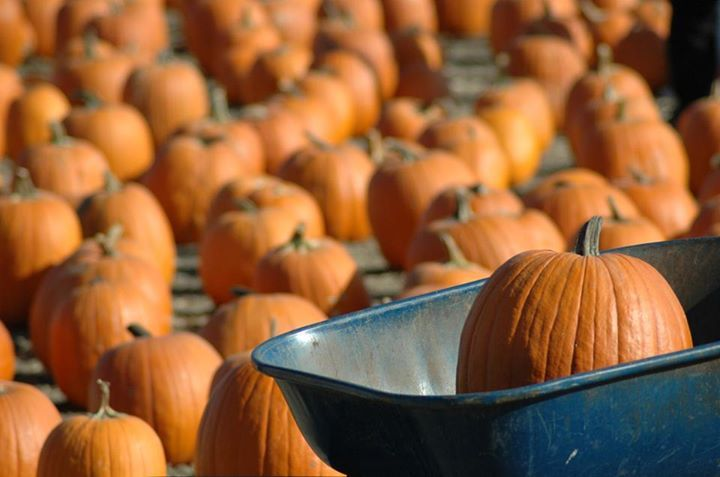 It's off to the pumpkin farm to pick out our best pumpkins.