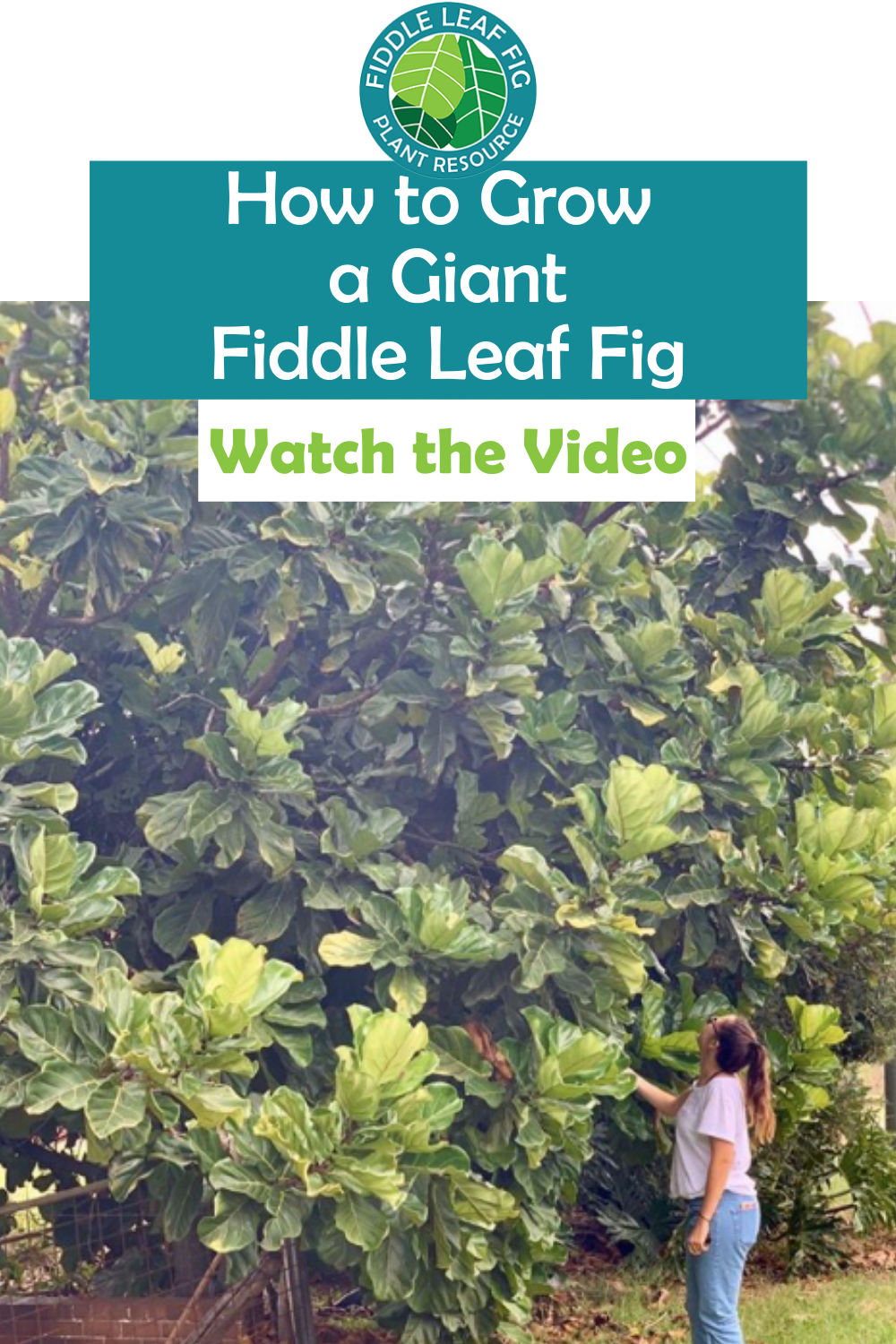 How to Grow a Giant Fiddle Leaf Fig