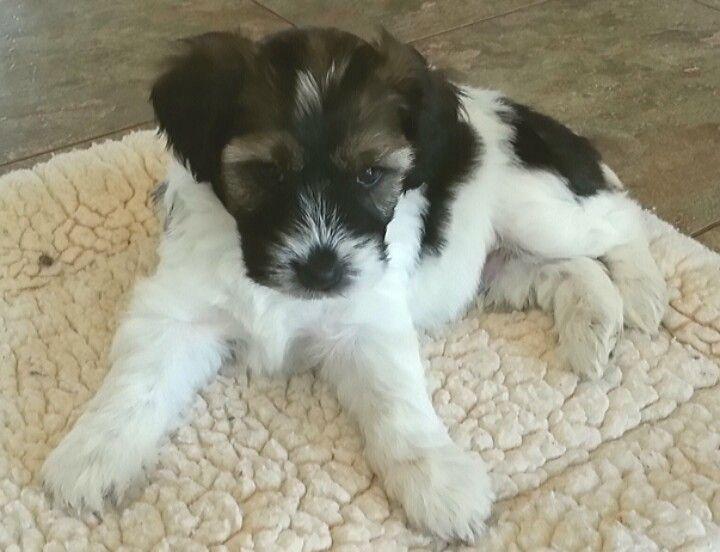 6 Week Old Tibetan Terrier Puppy Tibetan Terrier Terrier Puppy