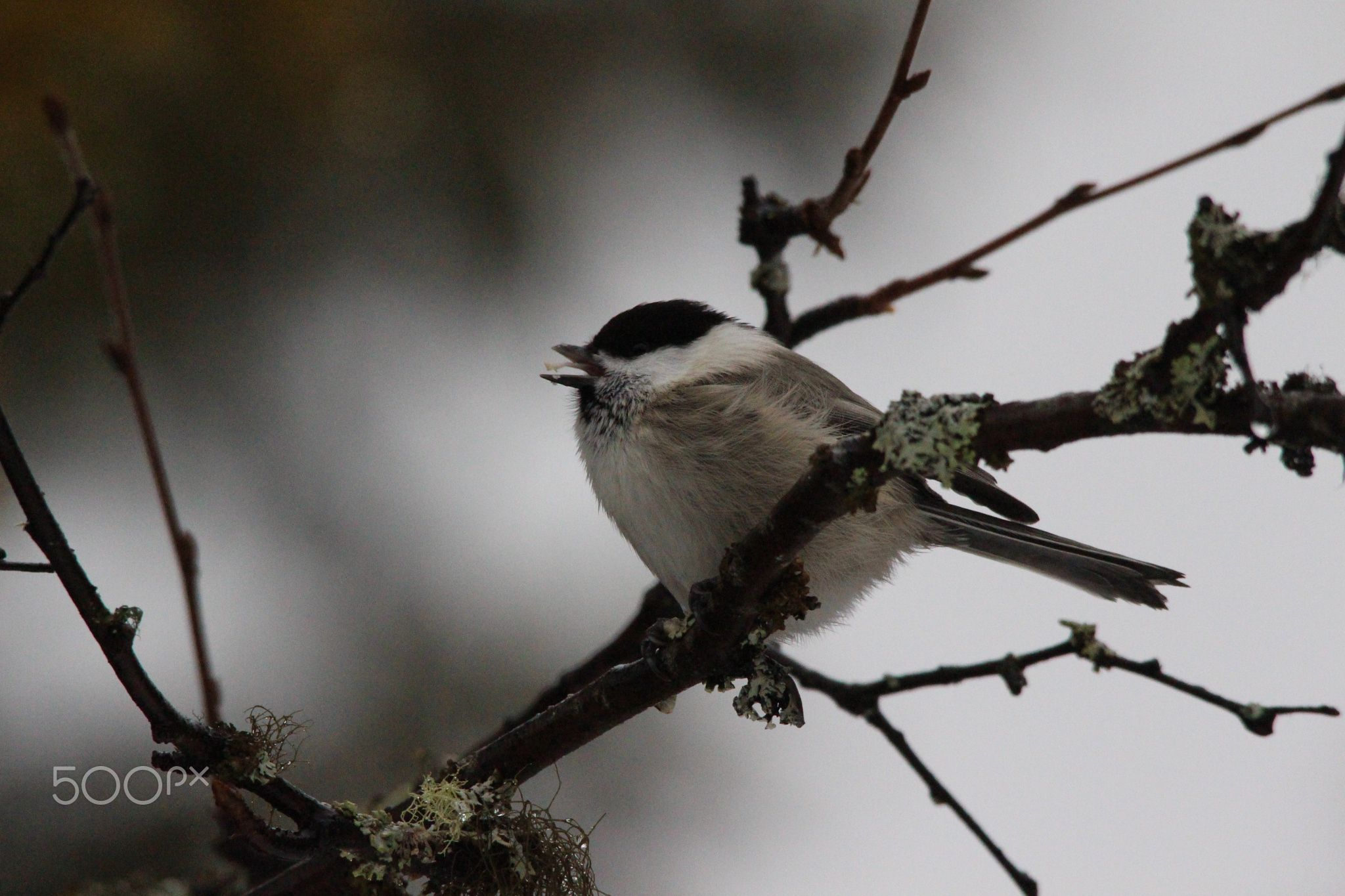 Fattening Up For Winter Amazing To See How Busy This Willow Tit Is These Months