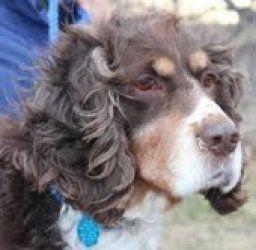 Adopt Tess On Spaniel Dog English Springer English Springer Spaniel