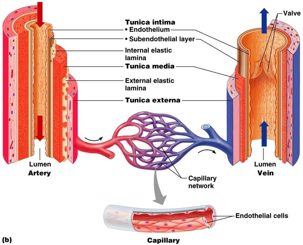 In The Circulatory System Veins From The Latin Vena Are Blood