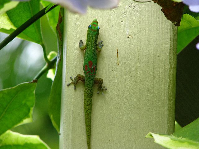 Cute Geckos on Green Flash...