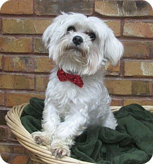 Adopted Texas Meet Tiny A Maltese Dog For Adoption At Hsnt