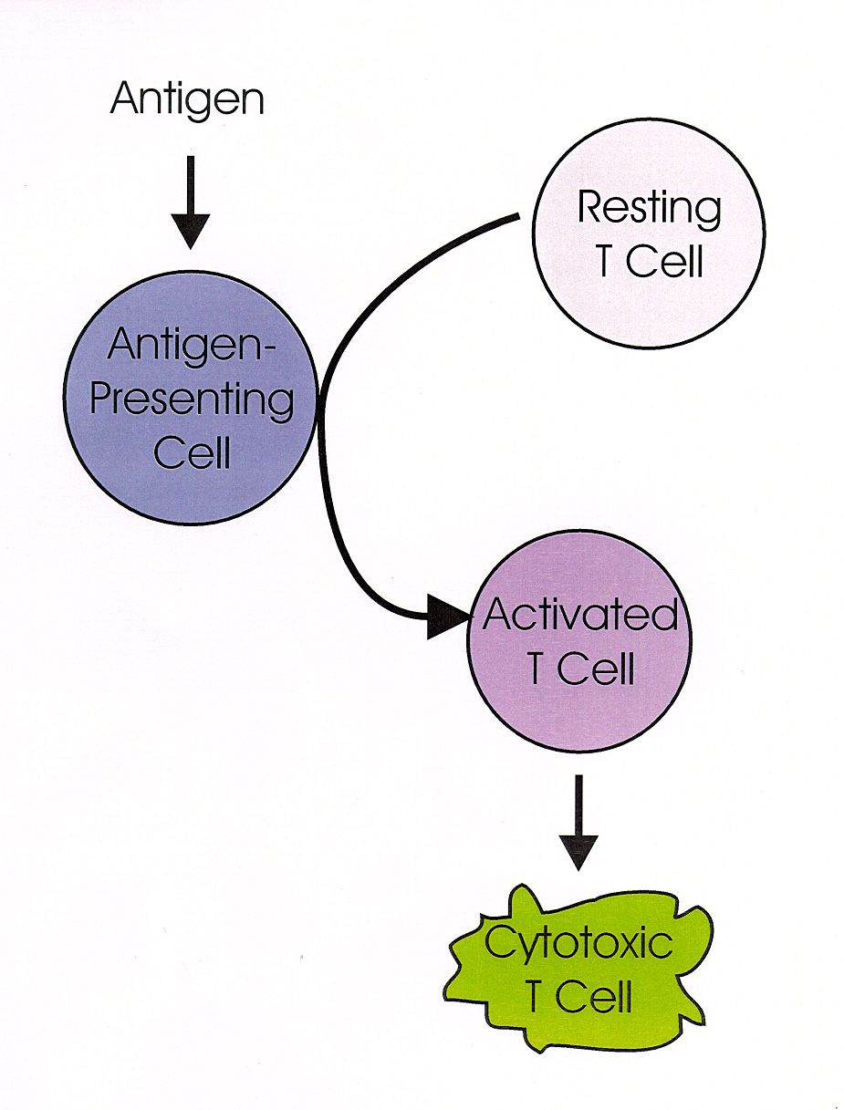 Antigen-presenting cell   Antigen presenting cell. T cell. Diagram