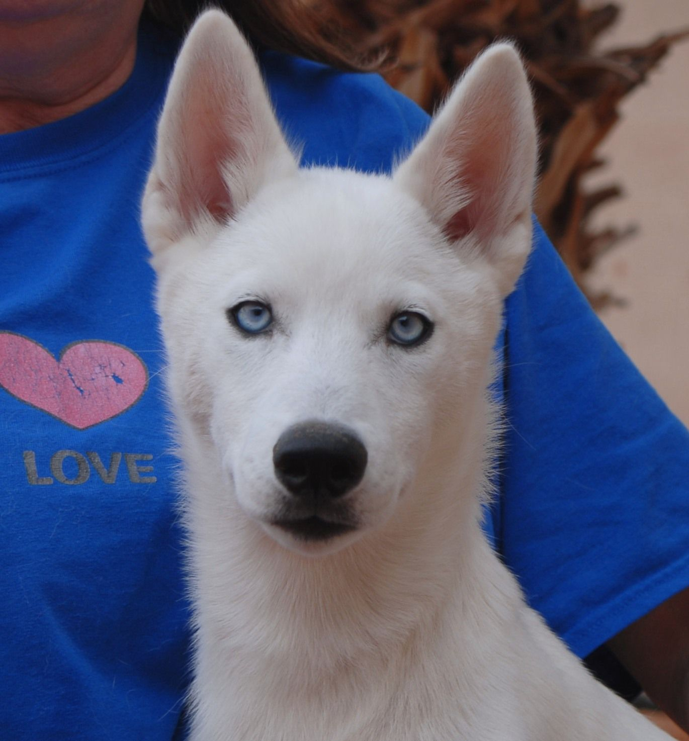Where to adopt a husky puppy for free