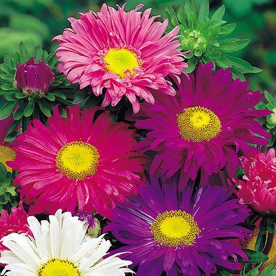 ASTER CHINA - SINGLE MIXED - 400 FINEST SEEDS - ANNUAL