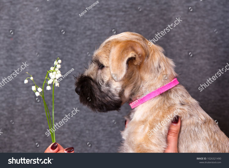 Irish soft coated wheaten terrier puppy sniffs the lilies