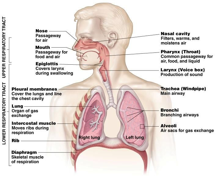 Anatomy Of The Human Lung Body Parts Pinterest
