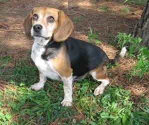 Adopt Marbles On Beagle Dog Beagle Puppy Mills