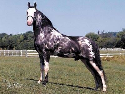 Plantation Shoes Tennessee Walking Horse