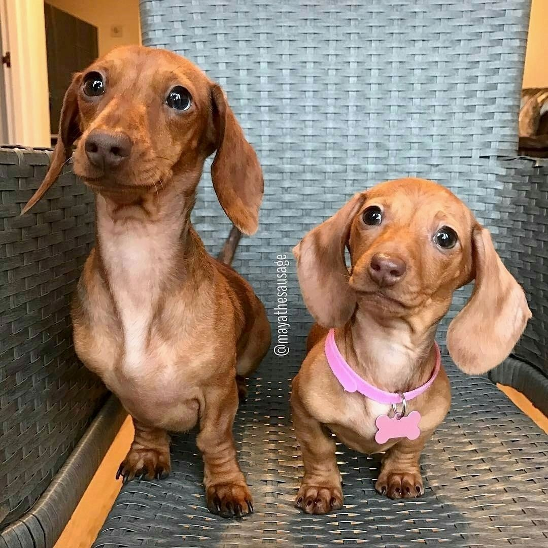 Look At Those Little Sweet Faces Mpp Dachshund Dachshund