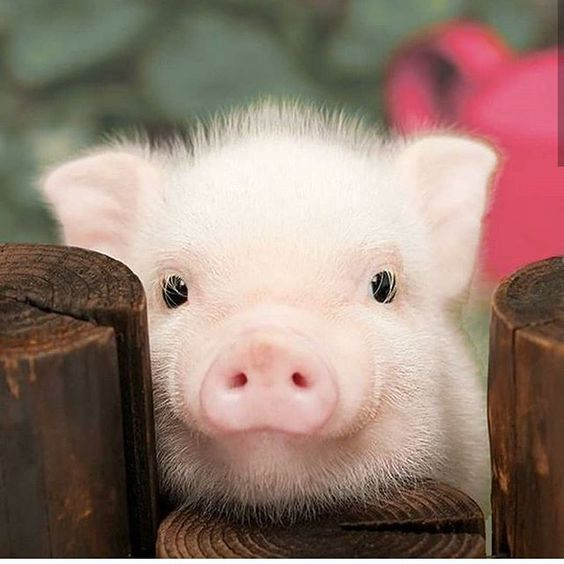 60 Photos For Anyone Who S Just Having A Bad Day Fallinpets Cute Baby Pigs Cute Baby Animals Baby Animals Pictures