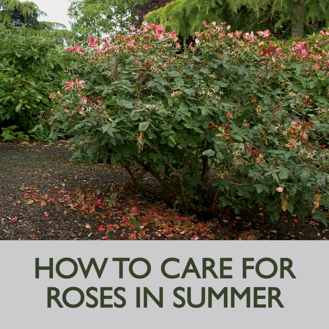 How to Care for Roses in the Summer