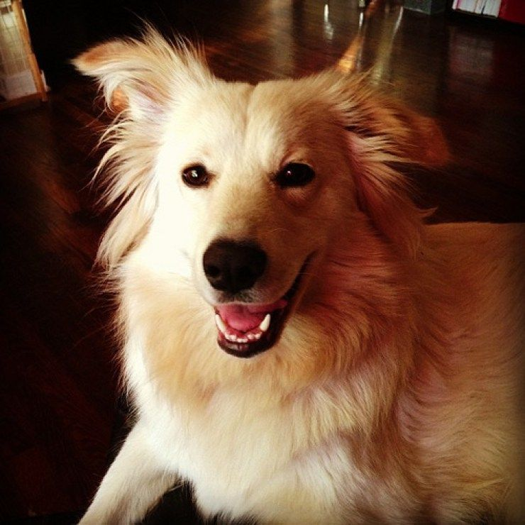 What Is A Labrador Samoyed Mix Like Samoyed Russian Dog Breeds Labrador Mix