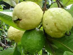 guayaba -I lived up in these trees for easy access.... Quiero un arbolito.