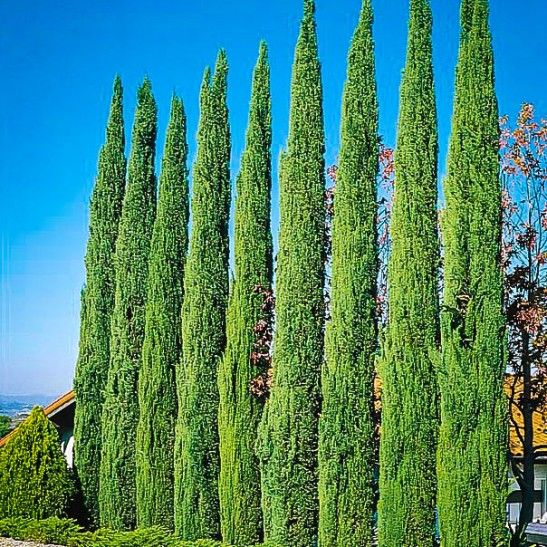 Best 25 Cypress Trees For Sale Ideas On Pinterest