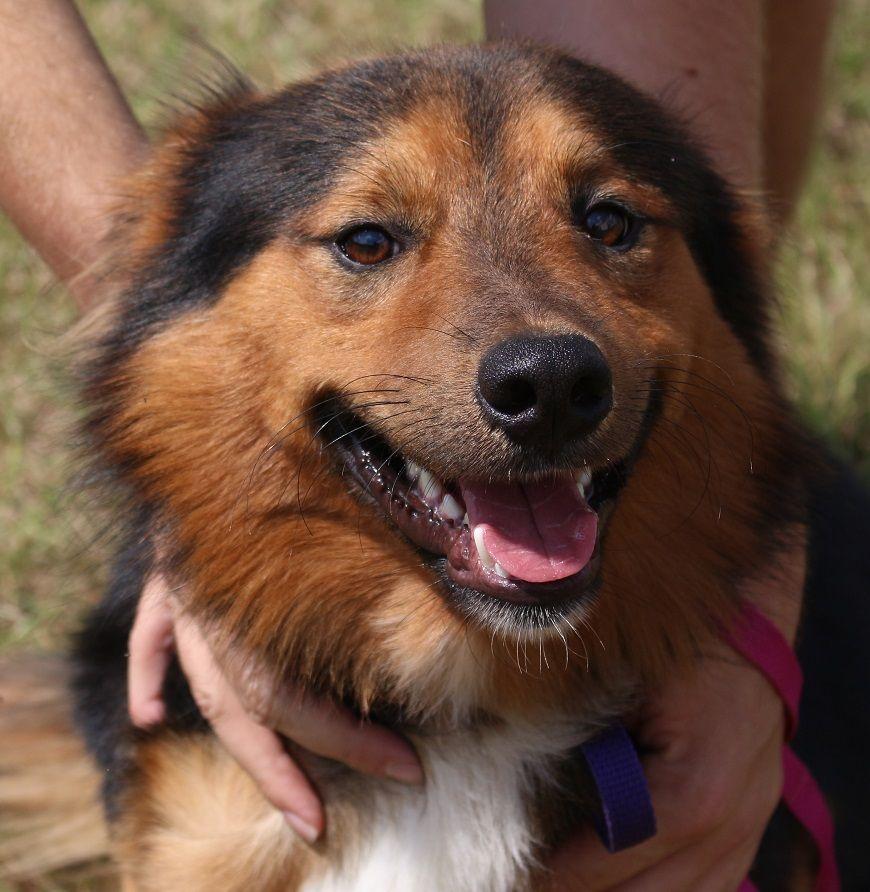Australian Shepherd dog for Adoption in Canton, CT. ADN