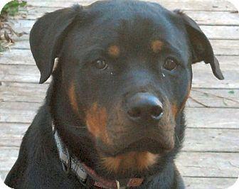 Greta Rottweiler Oswego Il Recycled Rotts Inc 2 Yrs Old