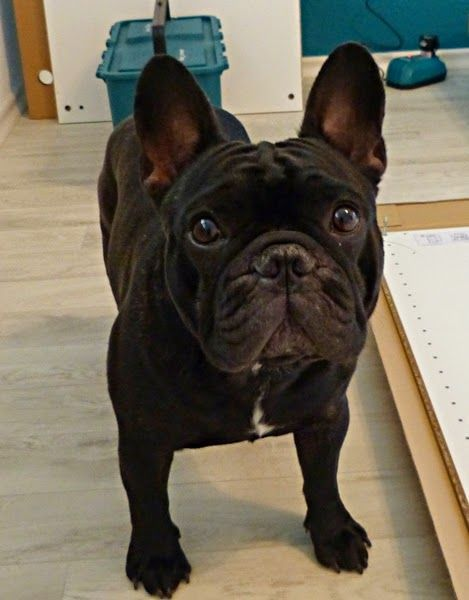 Bettys Creations Franzosiche Bulldogge Franzosische Bulldogge Susse Hunde