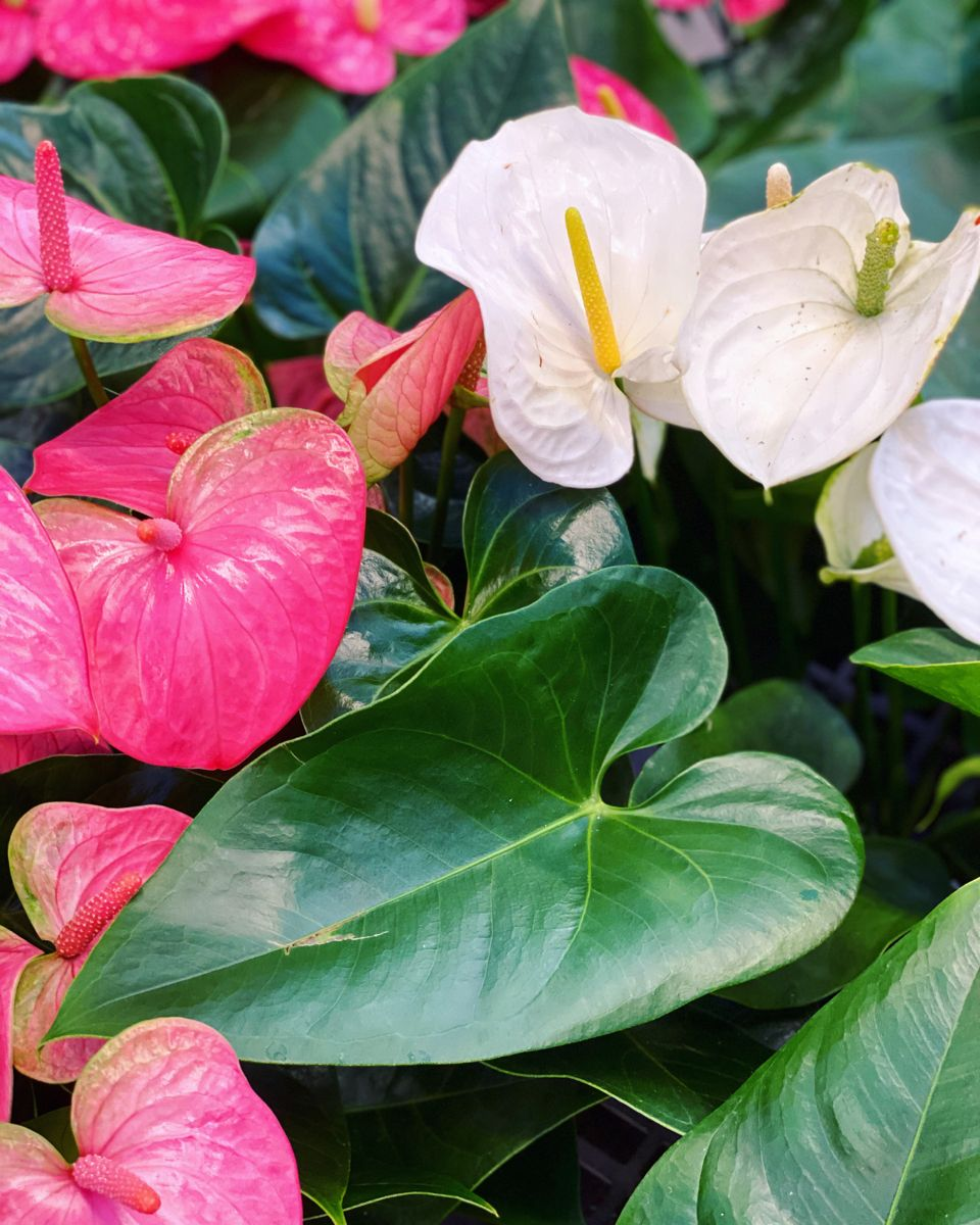 Anthurium Andraeanums In 2020 Lucky Plant Anthurium Plant Leaves