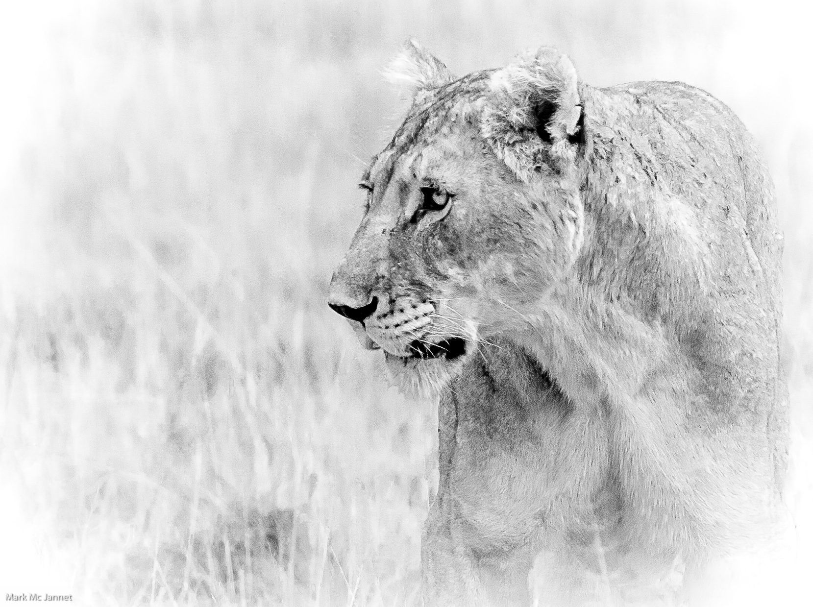 Lion by Mark Mc Jannet on 500px