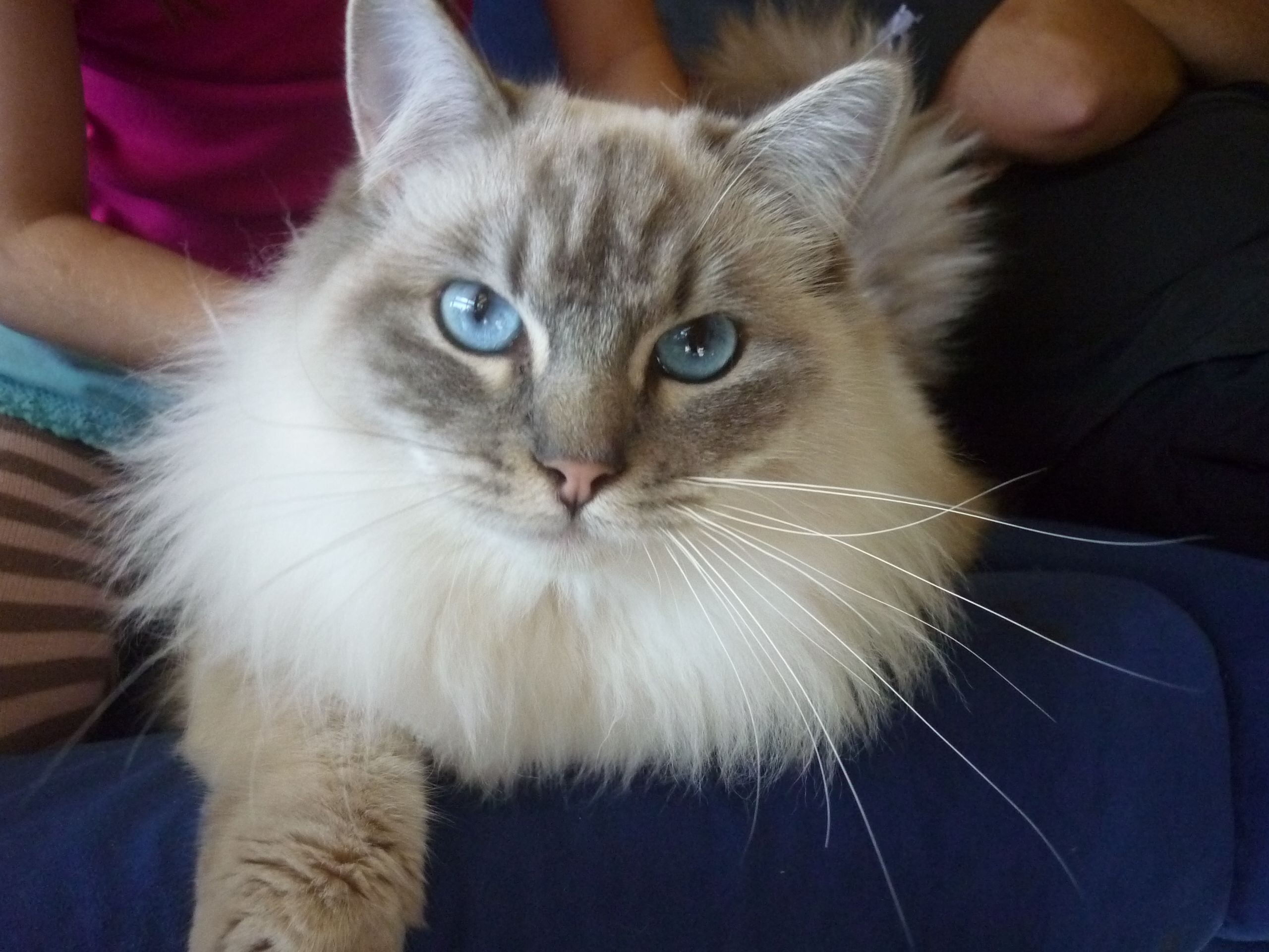 ragdoll cats Ragdoll Cats & Ragdoll Kittens