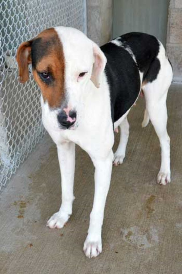 Treeing Walker Coonhound mix F #116 in Somerset, KY