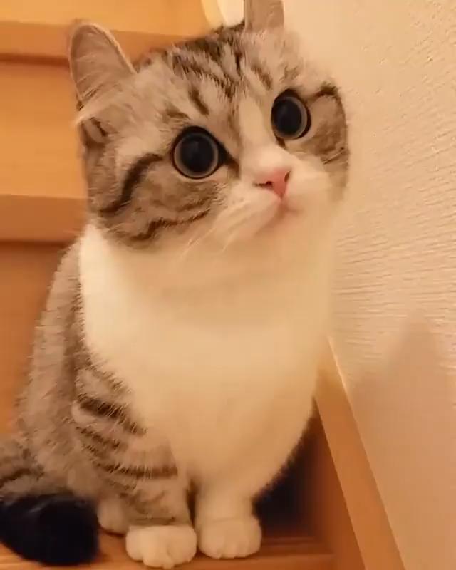 So Lovely Cat Munchkincat Schone Katze Katzen Zwergkatzen