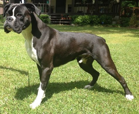 Beautiful Reverse Brindle Boxer We Had Two One With A White Blaze And White Socks Her Granddaughter Who Was A Fla Boxer Dogs Funny Boxer Puppies Boxer Dogs