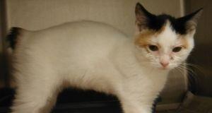 Adopt Mason On Manx Cat Manx Kittens Crazy Cats