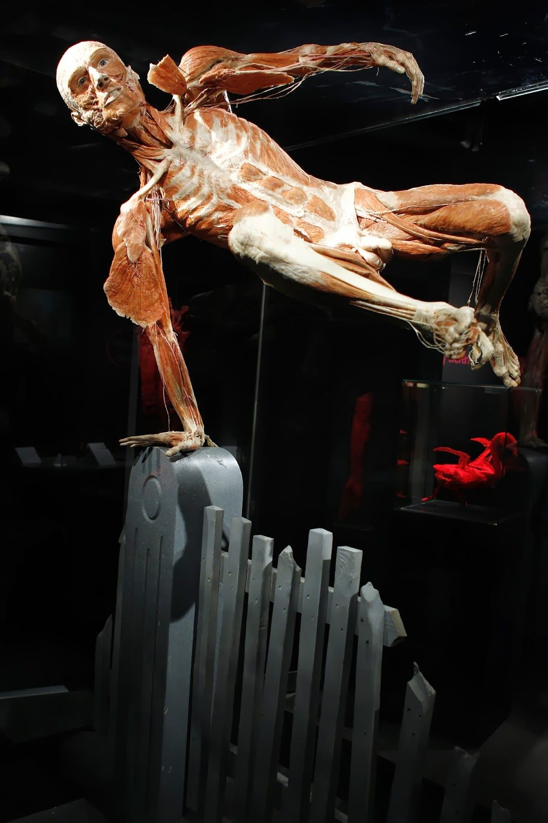 Plastinateds Body Display Permanent