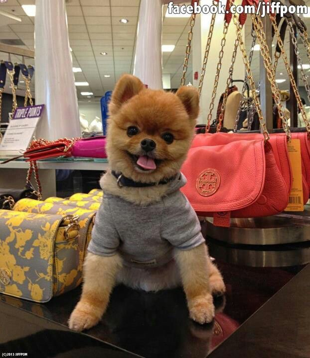 Pin By Kim Thorne On Jiff Pom Teddy Bear Puppies World Cutest