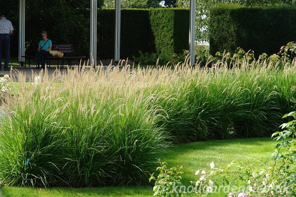 Pennisetum fairy tails knoll gardens ornamental for Ornamental grass garden