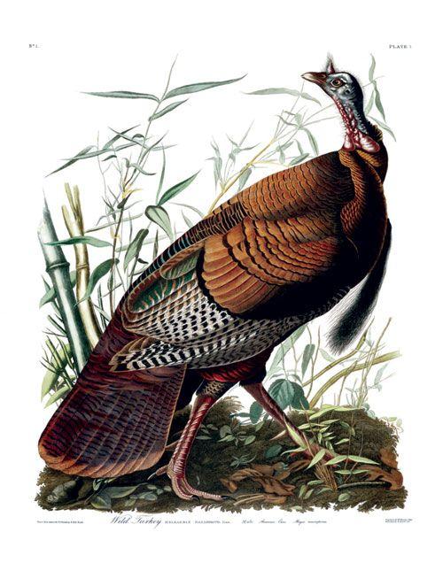 Turkey (Audubon)