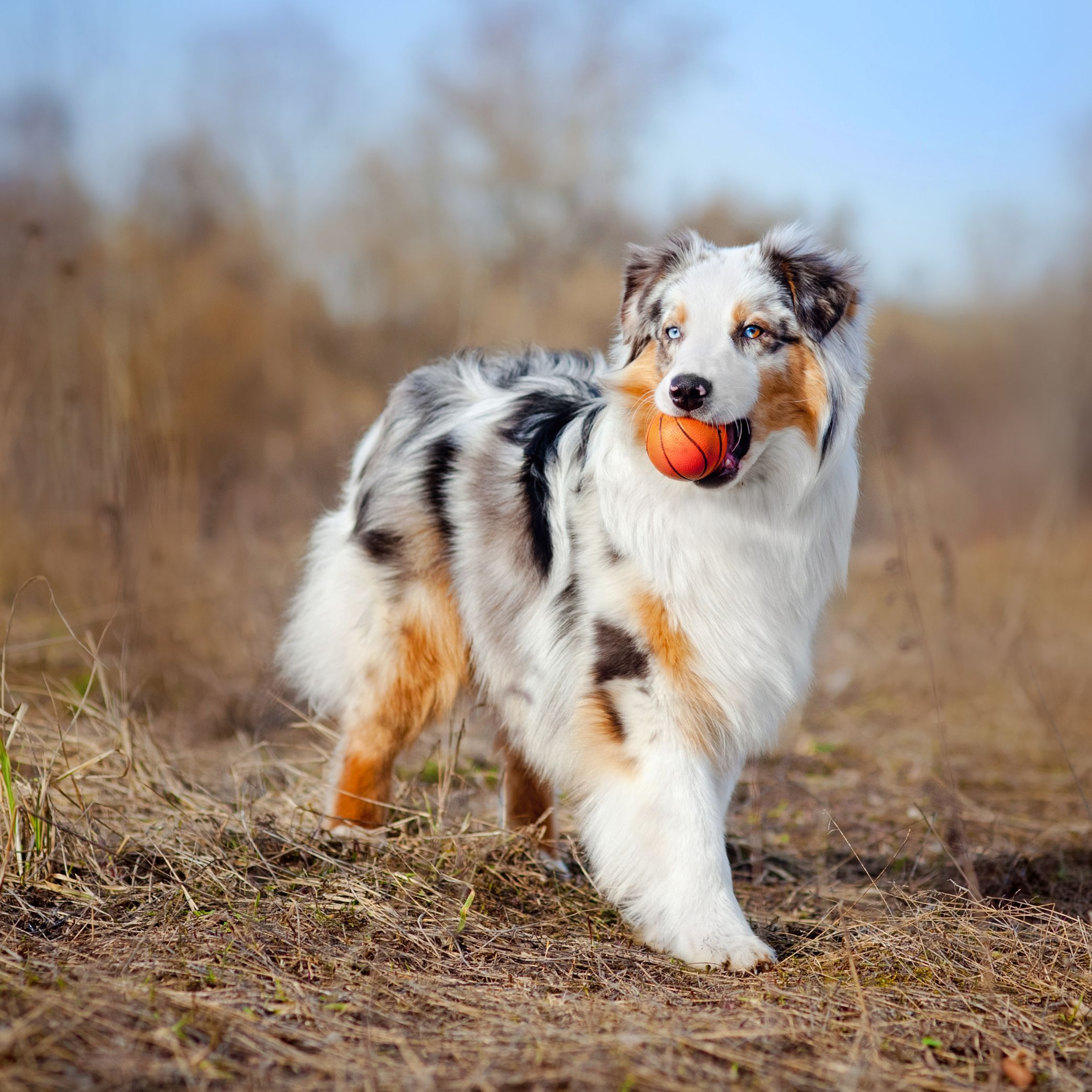 40 Best Medium Sized Dogs Dog Breeds That Dont Shed Dog Breeds