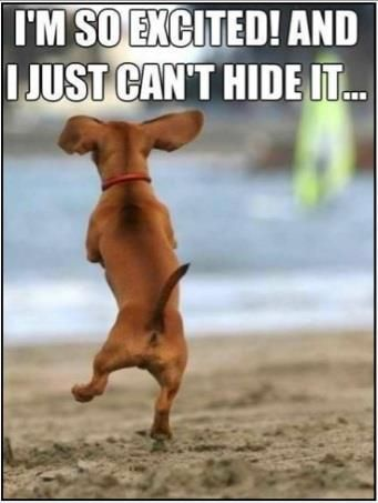 I'm so excited dachshund | Cute animals, I love dogs, Cute ...