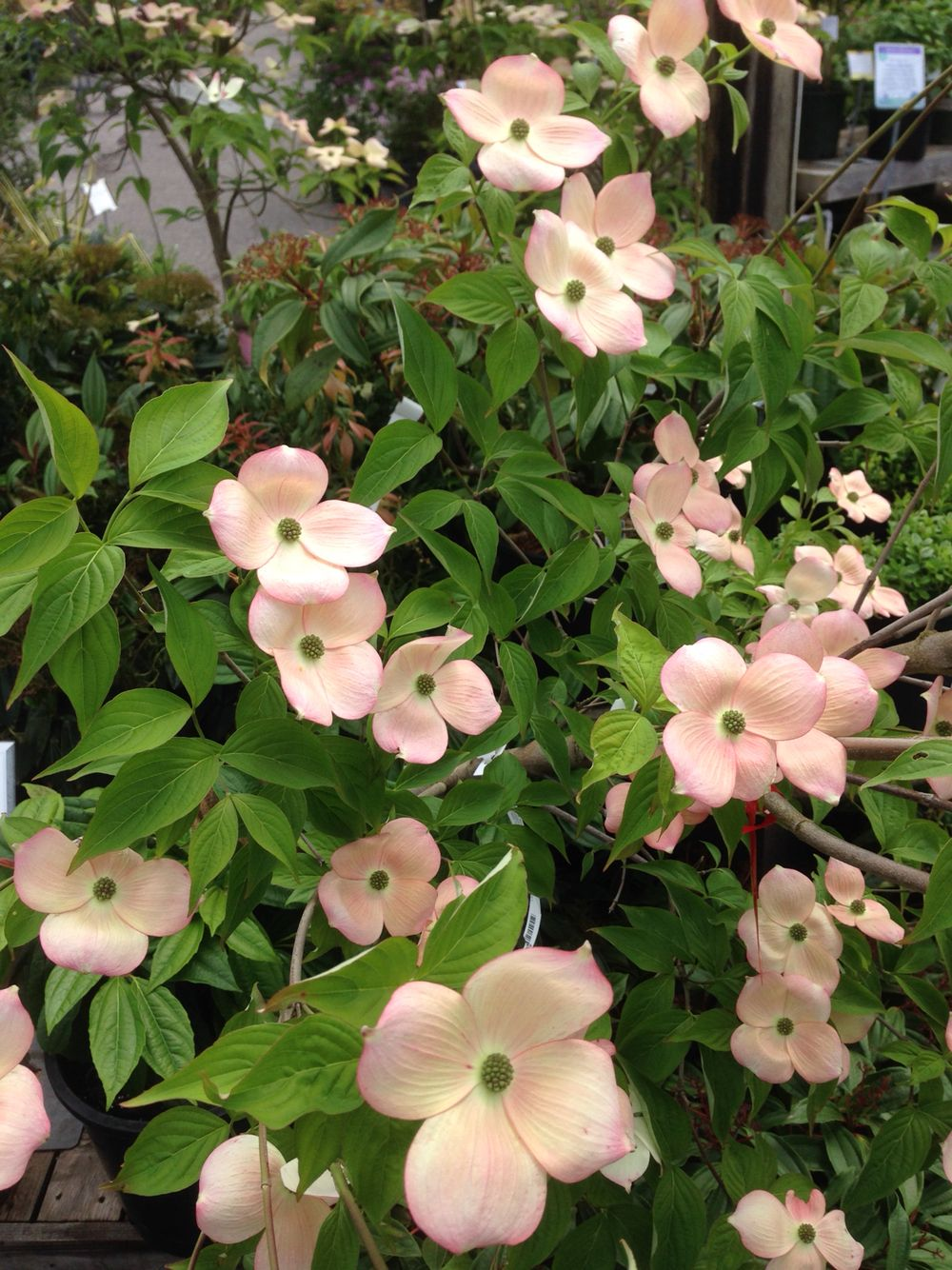 Cornus Kousa X Florida Stellar Pink Flowering Trees Small