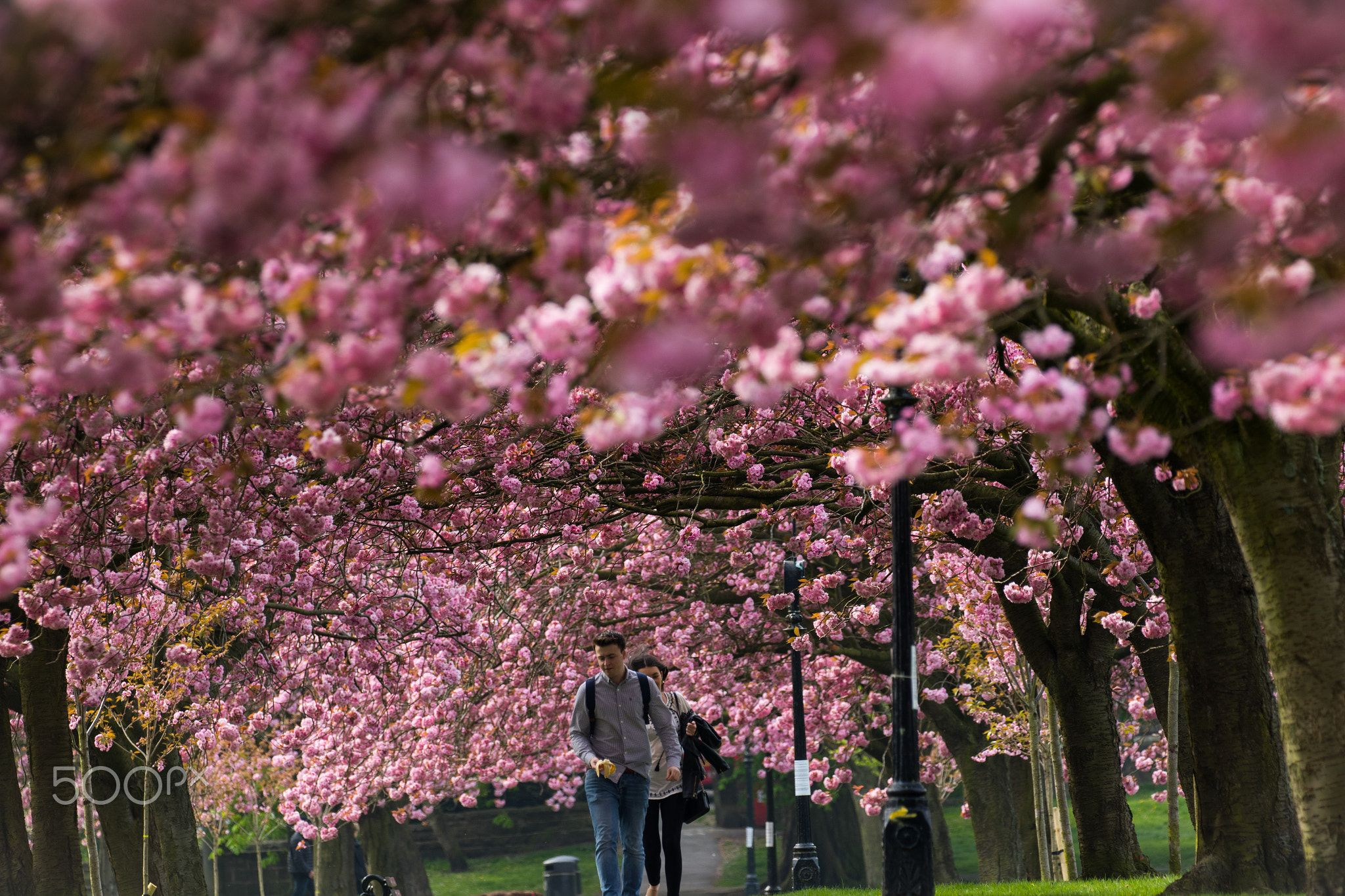 People Walking Under A Canopy Of Cherry Blossom People Walking Under A Canopy Of Pink Cherry Trees Stray Rein H Cherry Blossom Cherry Tree My Photo Gallery