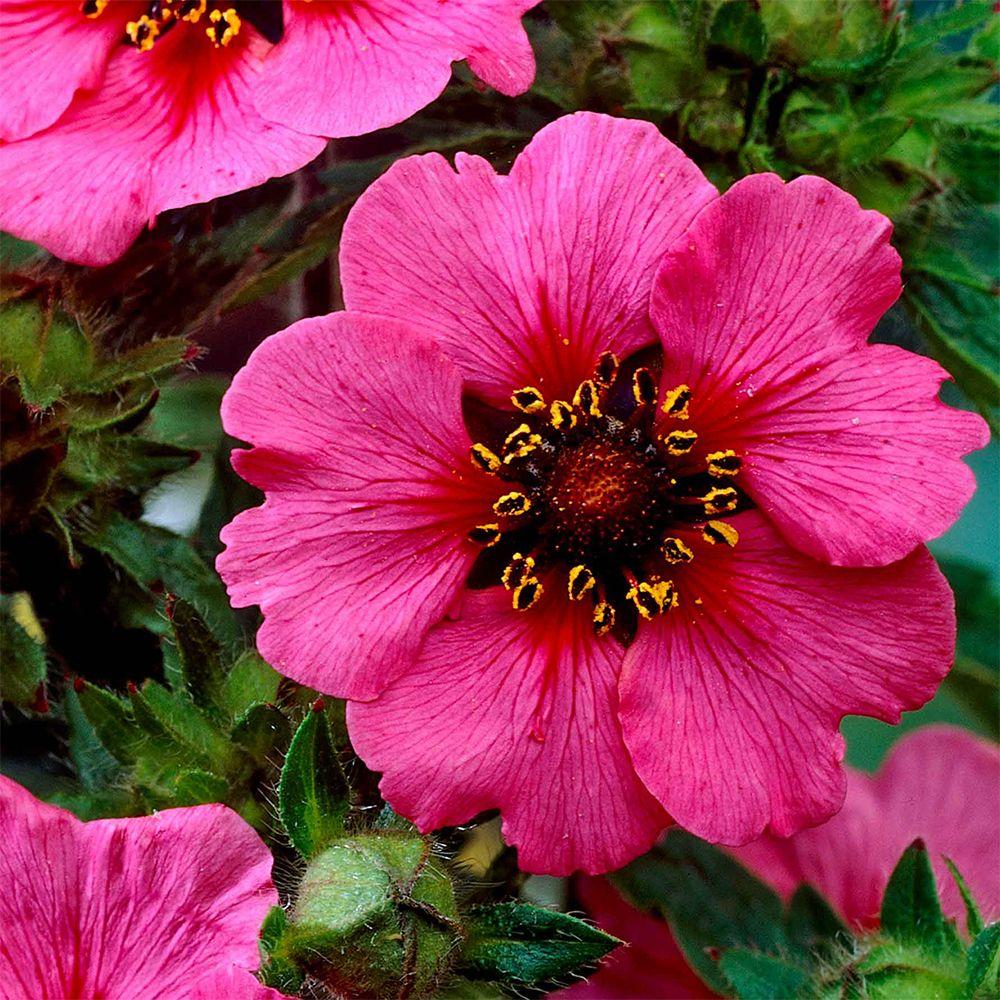 Potentilla Miss Willmott J Parker Dutch Bulbs Flower