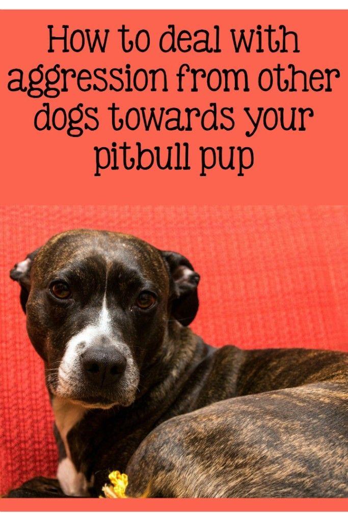 Pitbull Puppy Training Tips Addressing Aggression Pitbulls