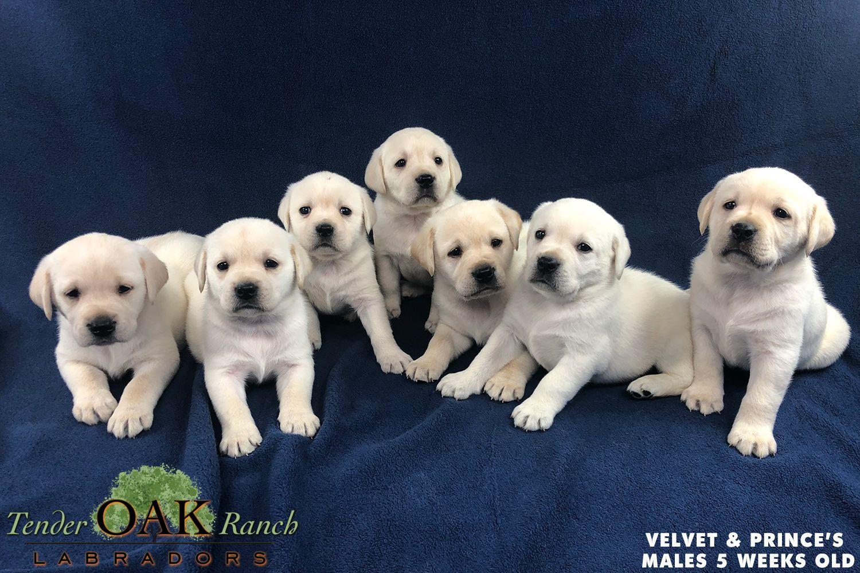 Akc Yellow Labrador Puppies In 2020 Labrador Puppies For Sale Yellow Labrador Puppy Labrador Puppy