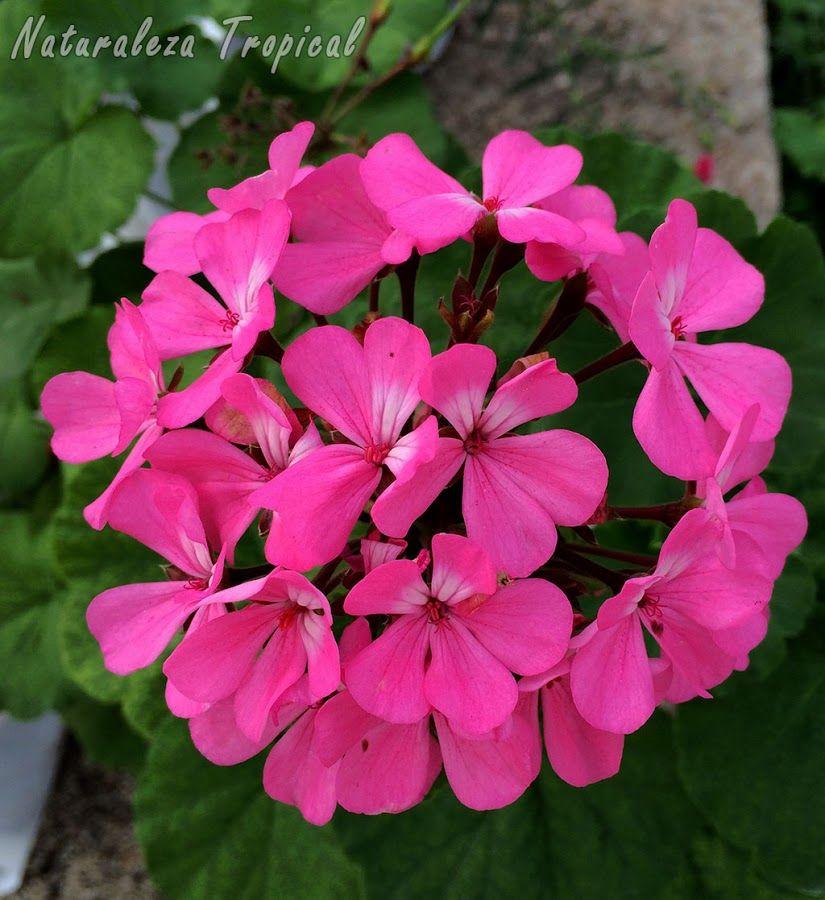 8 plantas que florecen todo el a o en macetas for Plantas decorativas ornamentales