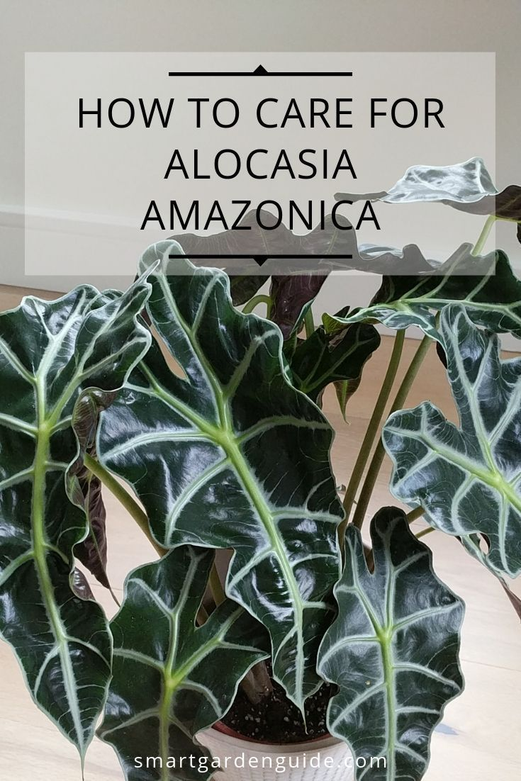 Alocasia Amazonica Care Guide. Also known as Alocasia Polly, African Mask plant and Elephant Ear Pla