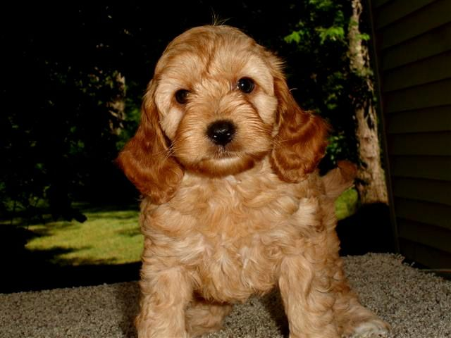 M Cockapoopuppies Us Cockapoo Puppies Cockapoo Puppies For Sale Puppies