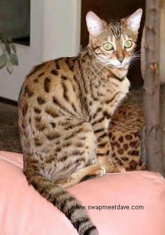 Bengal Cat Rescue San Diego Meow Find Out At Catsincare Com