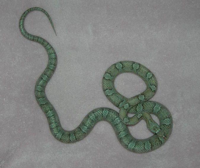 Pin By Christiana Adams On Corn Snakes Corn Snake Pet Snake Snake