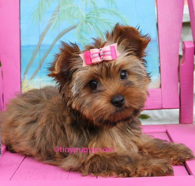 Sable Yorkie Pup Teacup Puppies Yorkshire Terrier Puppies