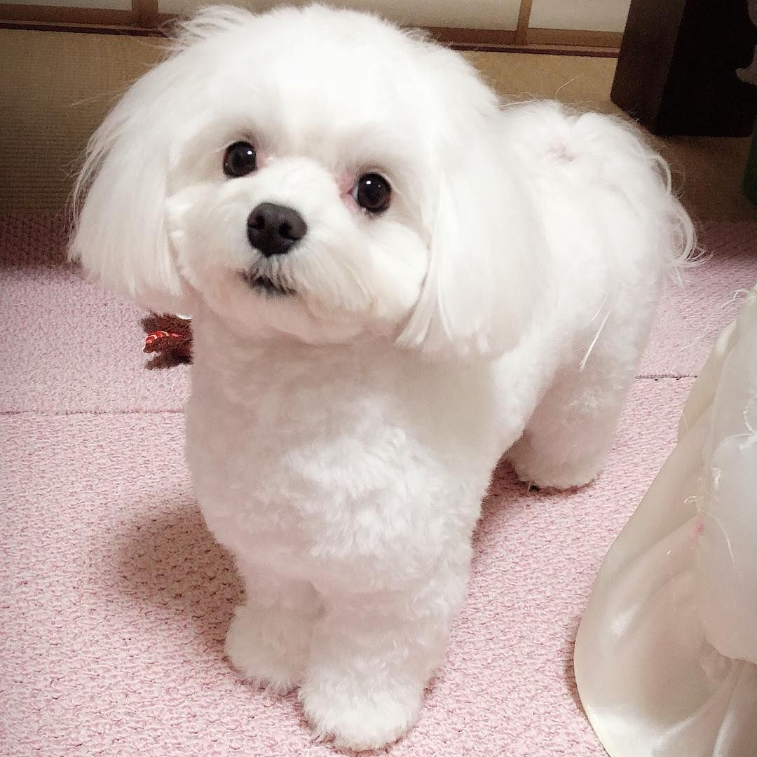 Everything You Want To Know About Maltese Including Grooming Training Health Problems History Adoption Finding Good Breeder And More Maltese Dogs Maltese Poodle Mix Maltese Poodle